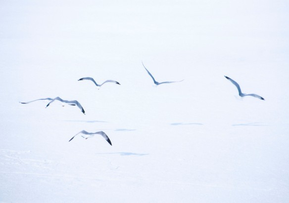 Migrating gulls rise from the ice at the National Wildlife Refuge.