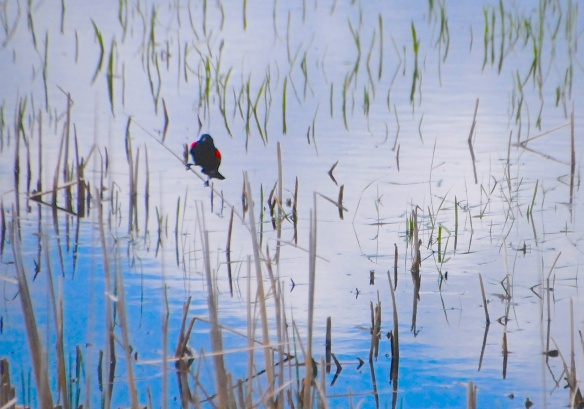 Redwing blackbird establishing his territory.