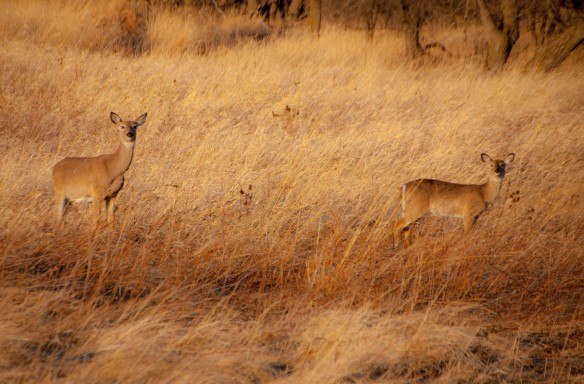 Whitetails in a nearby meadow.