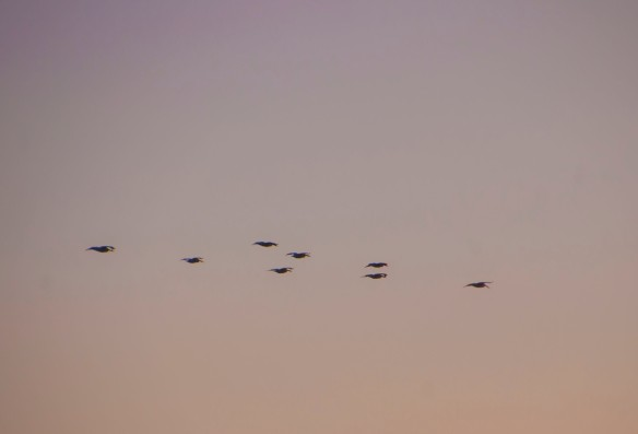 An image of pelicans taken the following day in the setting sun. One day I'll capture the white against the blue.