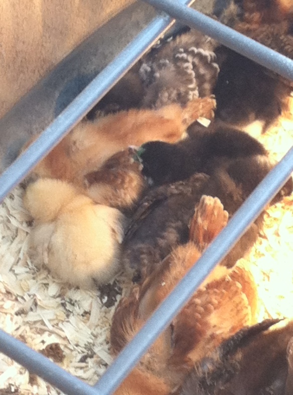 A moment of peace in the brooder.