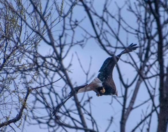 The Bald Eagle takes off.