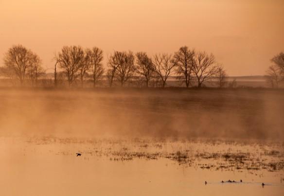 A duck in flight in the wetland.