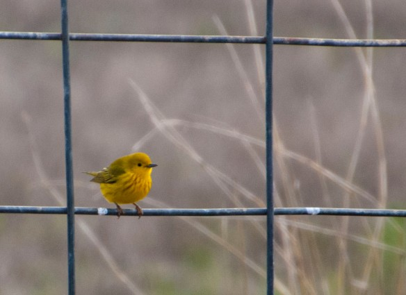 yellowwarbler4