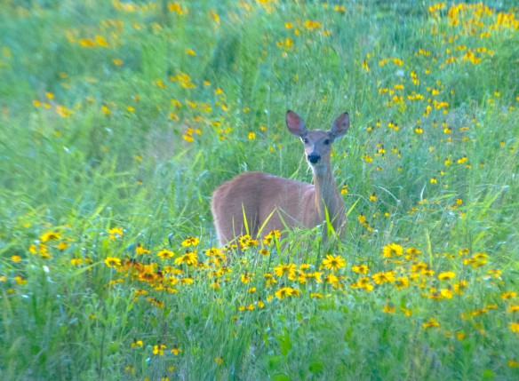 A yearling White Tail walks through our dominate yellow prairie.