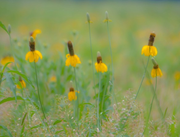 """Mexican hats"" or yellow coneflowers are rampant."