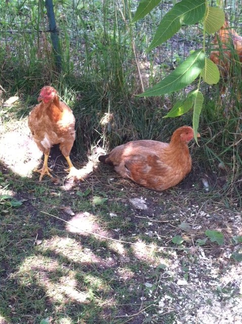 A few of the Red Ranger pullets are now members of the laying flock.