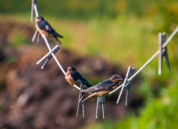 Three swallow chicks await dinner.