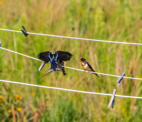 In an instant, with deft wing control, the swallow stops in midair, feeds the young, then as quickly, flies off.