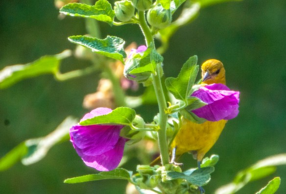 The female oriole was a surprise visitor to the hollyhock.