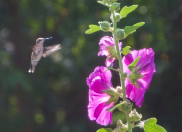 Buzzing hummingbirds are frequent visitors, a buzz that attracts the ear as much as the swaths of pink in the prairie breezes catch the eye.