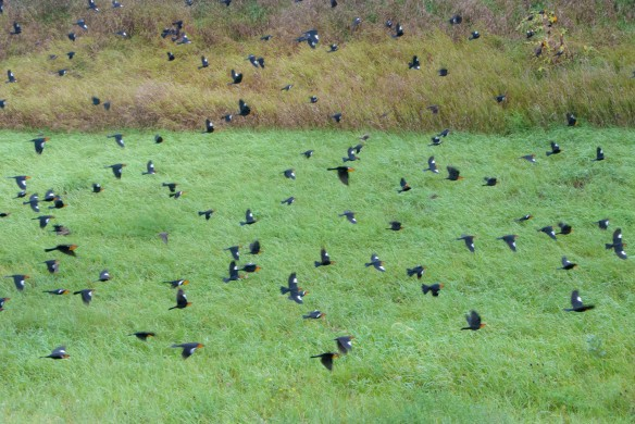 Yellowheaded blackbirds by the hundreds gathered along Highway 75 near Bellingham.
