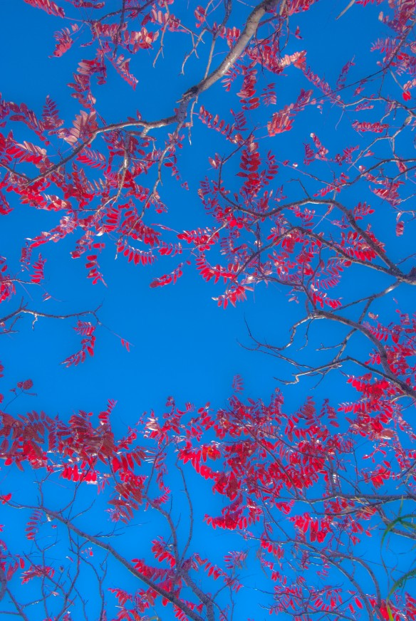 Taken while lying on my back, the red leaves look stark against the blue of the sky.