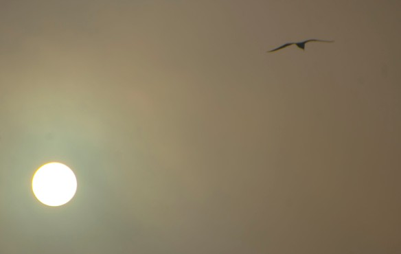 Gull gliding in the morning sun.