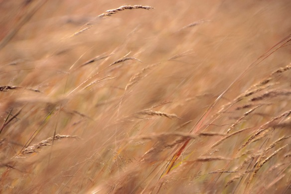 Windblown grasses.