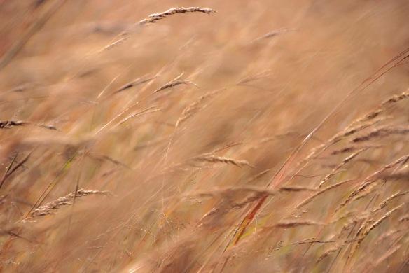 Windblown grasses.
