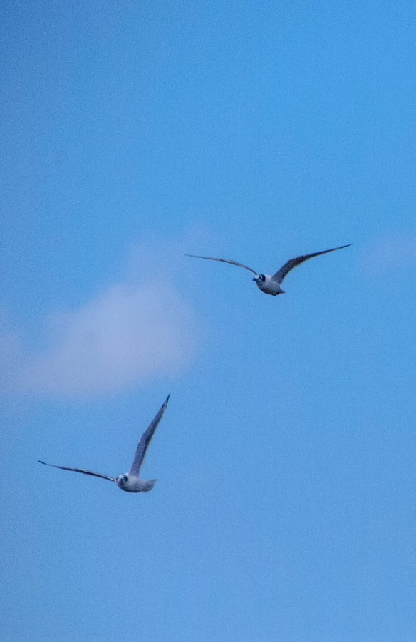 Gulls gliding in the wind.