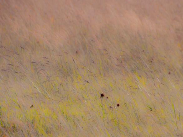 Turkey-track bluestem encountering a prairie wind.