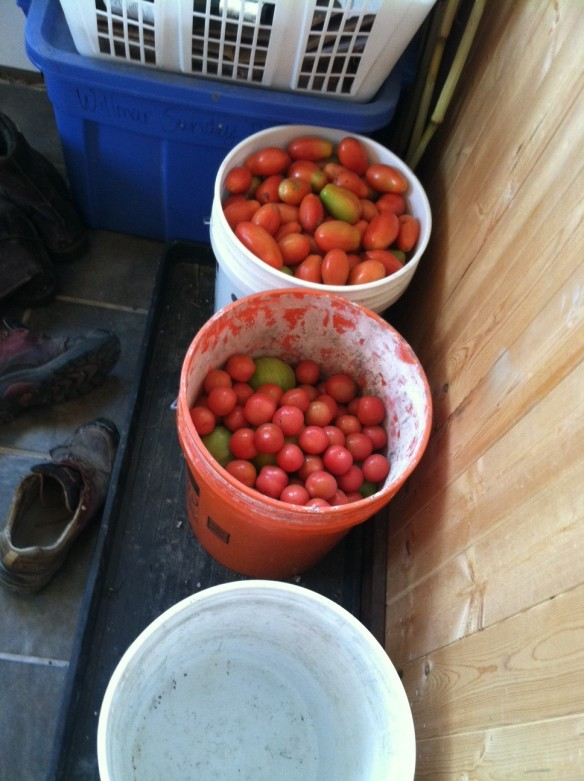 Still more tomatoes in the back entryway-- I think I'll start using the other door.