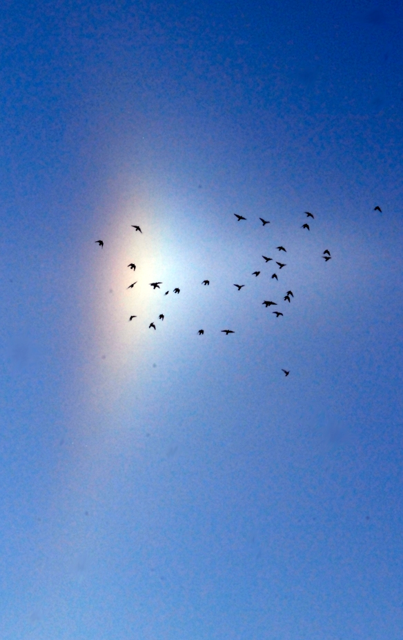 Needed a Solstice picture for my country weekly, these pigeons flew from the local grain elevator into the arc of a sun dog.