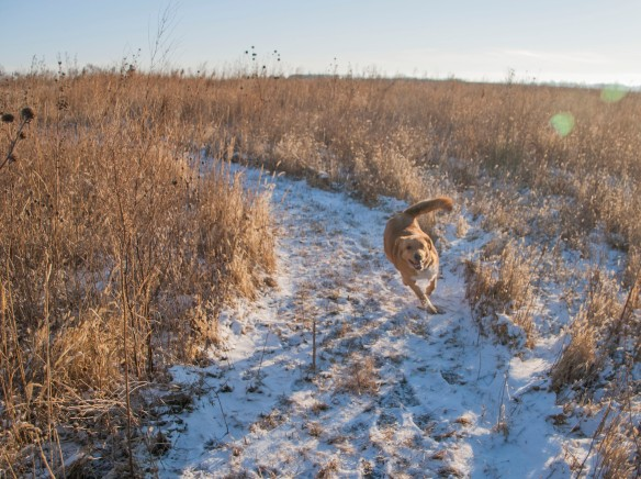Joe Pye loves to run the paths through the prairie.