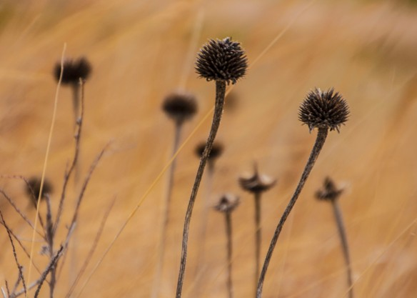 Cone flower pods accented by prairie grasses moved by the wind.