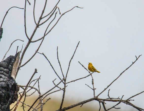 A Yellow Warbler sings on a charred snag from a two year old burn ... life from the fire.