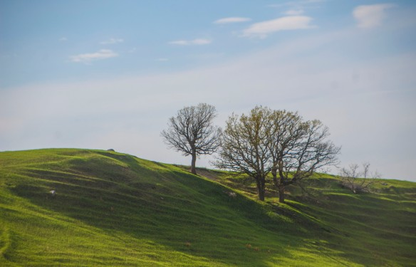 An oak savanna on the lip of a refurbishing prairie.