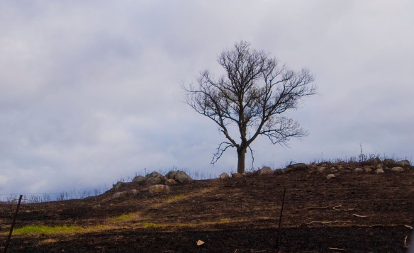 A lone tree after a recent prairie burn ...