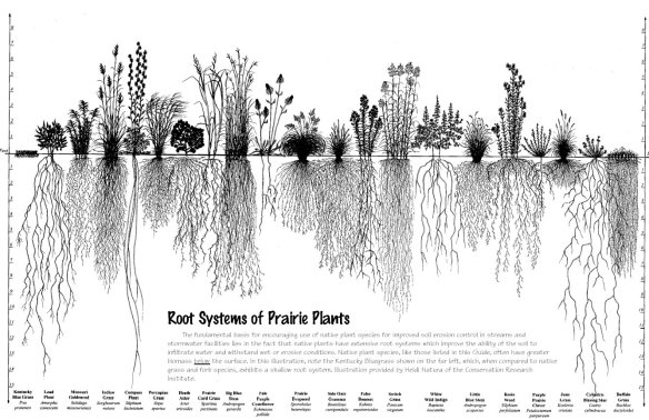 Roots from native prairie grasses and forbs run deep ... creating an