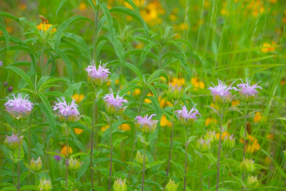 So far, the bee balm in the prairie have escaped scrutiny.