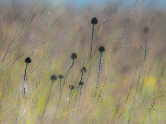 Cone flower seed heads stand out from the browning prairie grasses.
