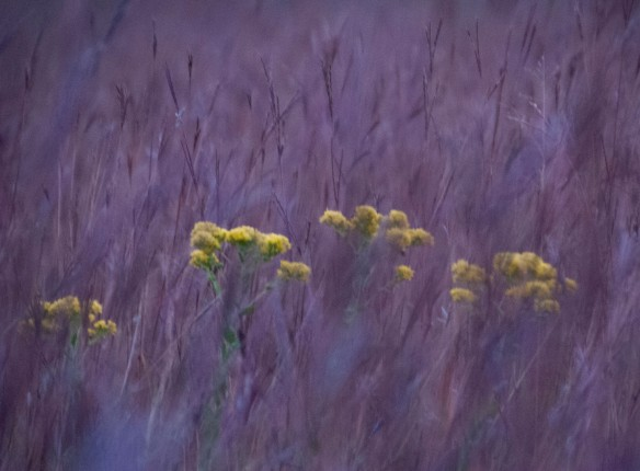 Golden Rod peeking through the big bluestem on a recent pre-dawn morning.