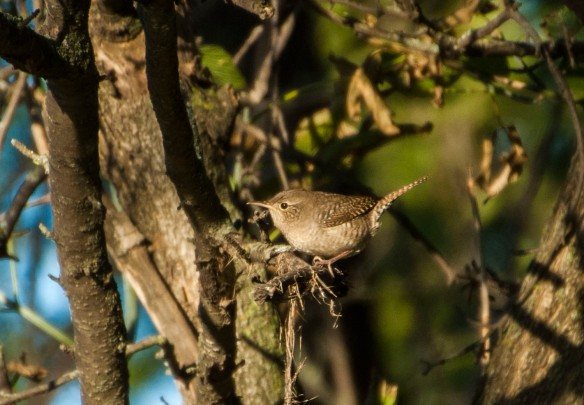 The little wren popped up amidst the sprinkling of leaves in the grove.