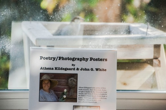 A visitor to the bird feeder, in front of the display of the new posters created by poet Athena Kildegaard and I.