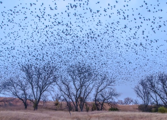 Thousands of blackbirds rise from the trees ... a murmeration.