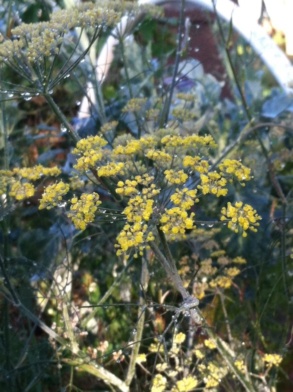 Bronze fennel in the broccoli bed