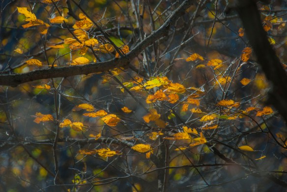 Leaves shimmering in the lowering sun.