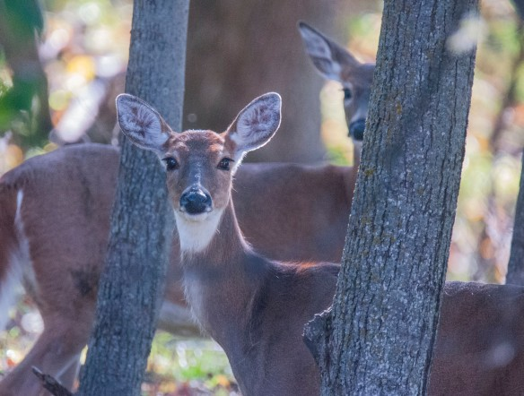 Peering through the woods, the deer seemed antsy. I was waiting for an antlered buck.