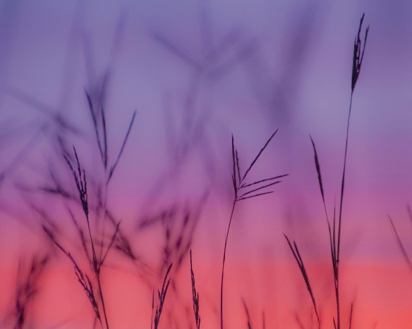 The big bluestem in sunset.
