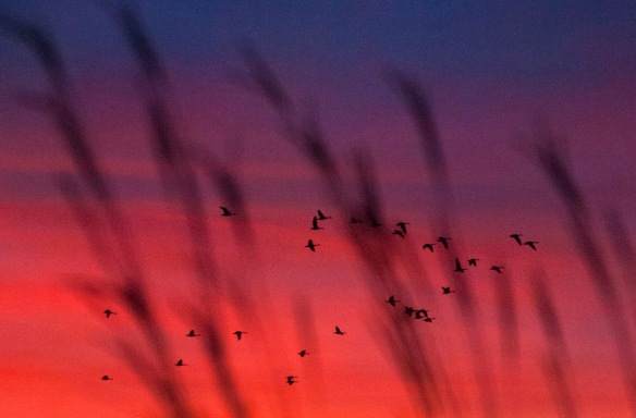 Geese in Bluestem Sunrise