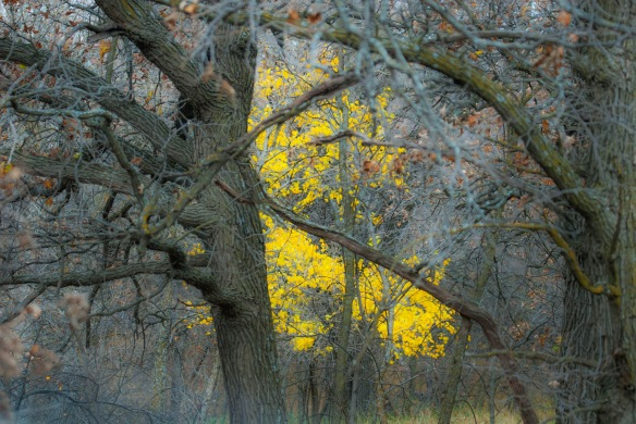 Oaks in Yellow