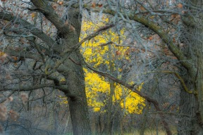 October - yellow gives color late in the month in an oak savanna.