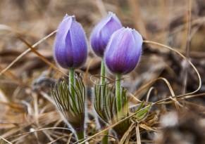 April - pasque flowers.
