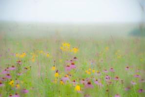 July - foggy morning on Amy's Prairie.