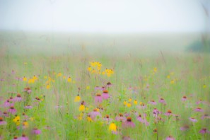 July - foggy morning on Amy's Prairie.