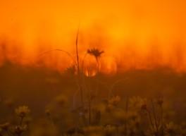 August - the western wild fires gave us some interesting sunsets. This sunflower was in our home prairie.