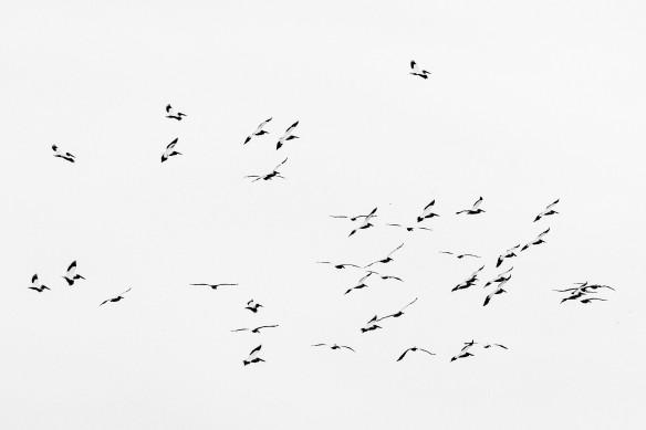 8.16.2018 pelicansb.w