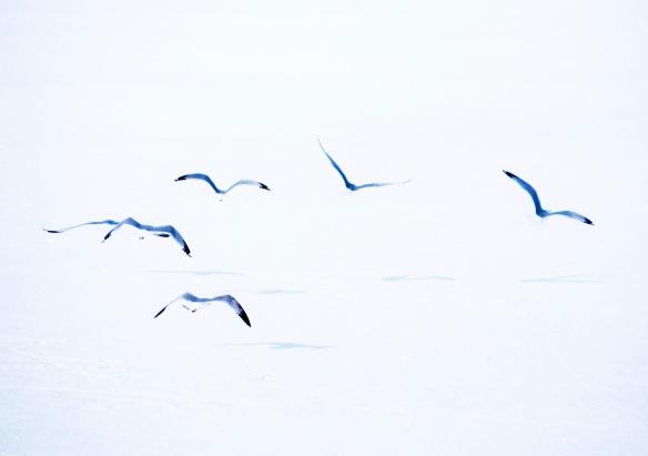 birds.solsticea