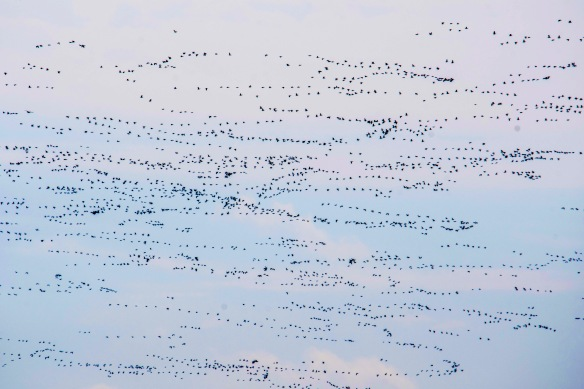 3.22.2020 snowgeese31 copy